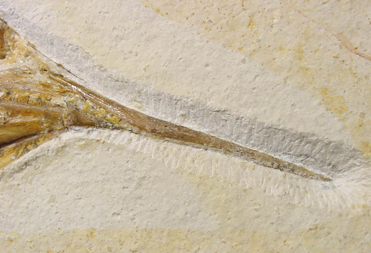 IMPRESSIVE LARGE WALL DISPLAY FISH FOSSIL OF AN ASPIDORHYNCHUS FOR INTERIOR DESIGN  *F014