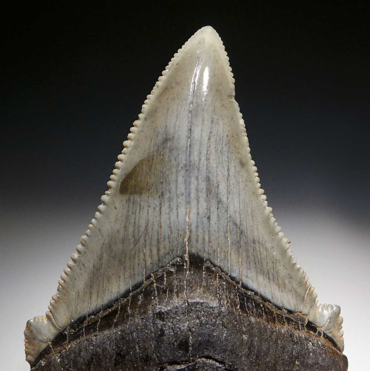 FINE QUALITY ANGUSTIDENS FOSSIL SHARK TOOTH FROM THE USA  *SHX080