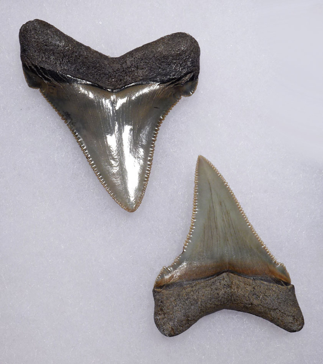 FINE QUALITY UPPER AND LOWER JAW ANGUSTIDENS FOSSIL SHARK TEETH  *SHX081
