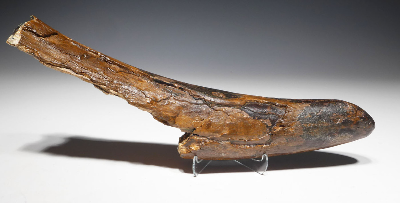 SUBSTANTIAL WOOLLY MAMMOTH TUSK END FROM EUROPE WITH DENSE PRESERVATION  *MTP08