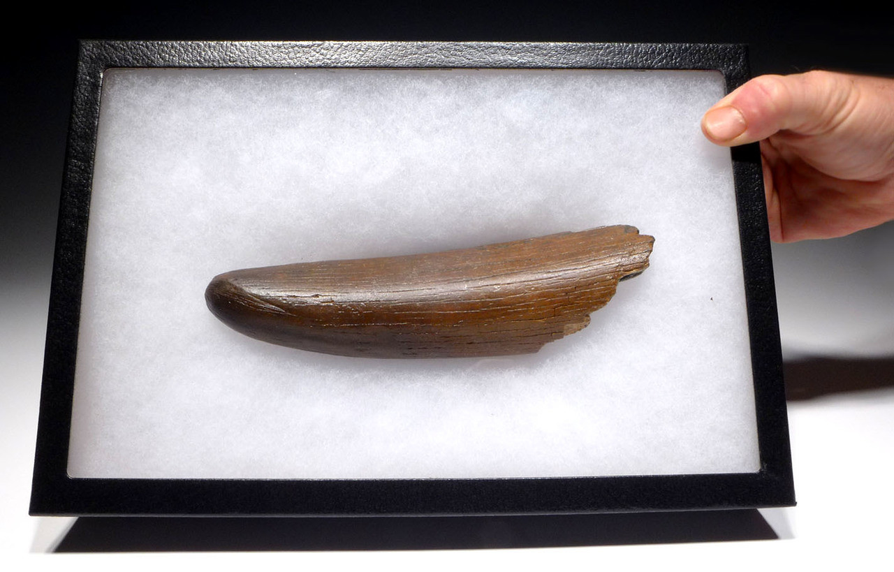 WOOLLY MAMMOTH IVORY TUSK FOR SALE