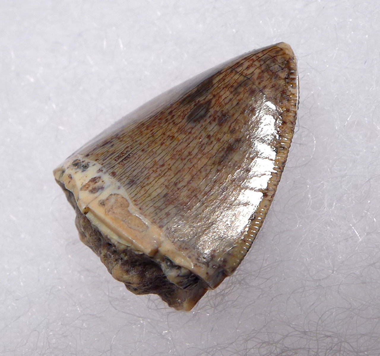 FINEST GRADE RUTIODON PHYTOSAUR FOSSIL TOOTH FROM THE TRIASSIC  *DT12-203