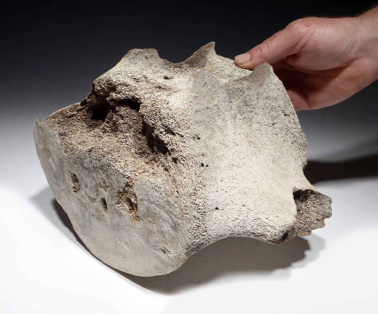 LARGE PREHISTORIC CROCODILE-BITTEN FOSSIL WHALE VERTEBRA FROM THE FAMOUS LEE CREEK PHOSPHATE DEPOSITS  *WH037