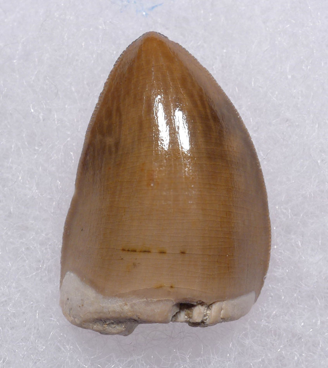 LARGE TRIASSIC RUTIODON PHYTOSAUR FOSSIL TOOTH WITH EXCELLENT PRESERVATION  *DT12-201