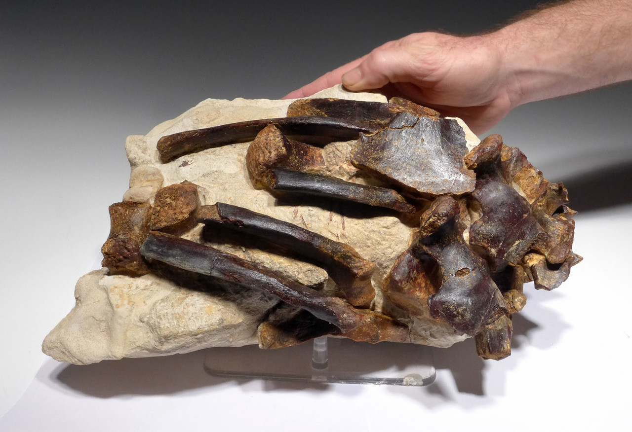 SEAL PINNIPED FOSSIL SKELETON FOR SALE