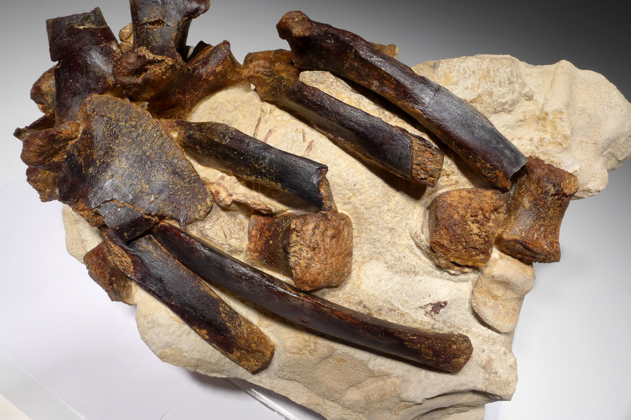 SEAL FOSSIL BONES