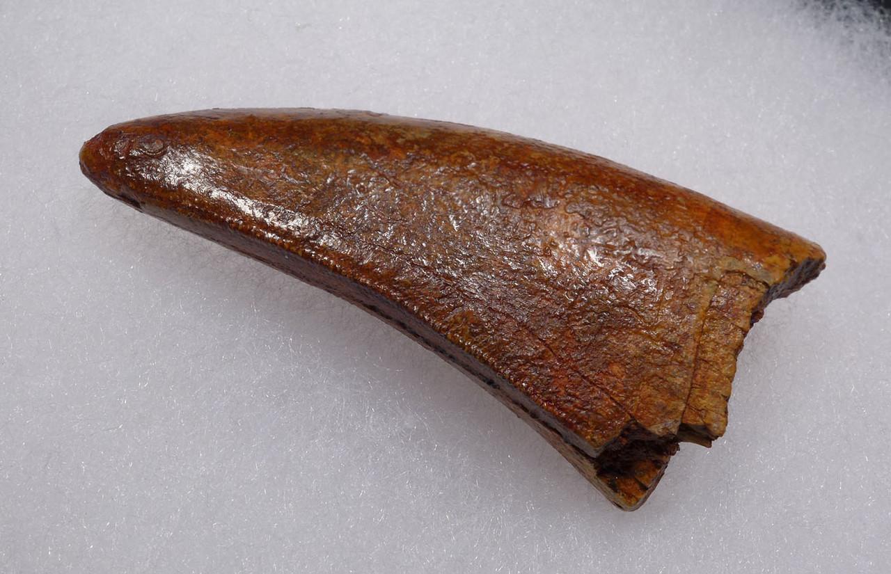 UNBROKEN 2.7 INCH BONE-CRUSHING DINOSAUR TOOTH FROM CARCHARODONTOSAURUS *DT2-112