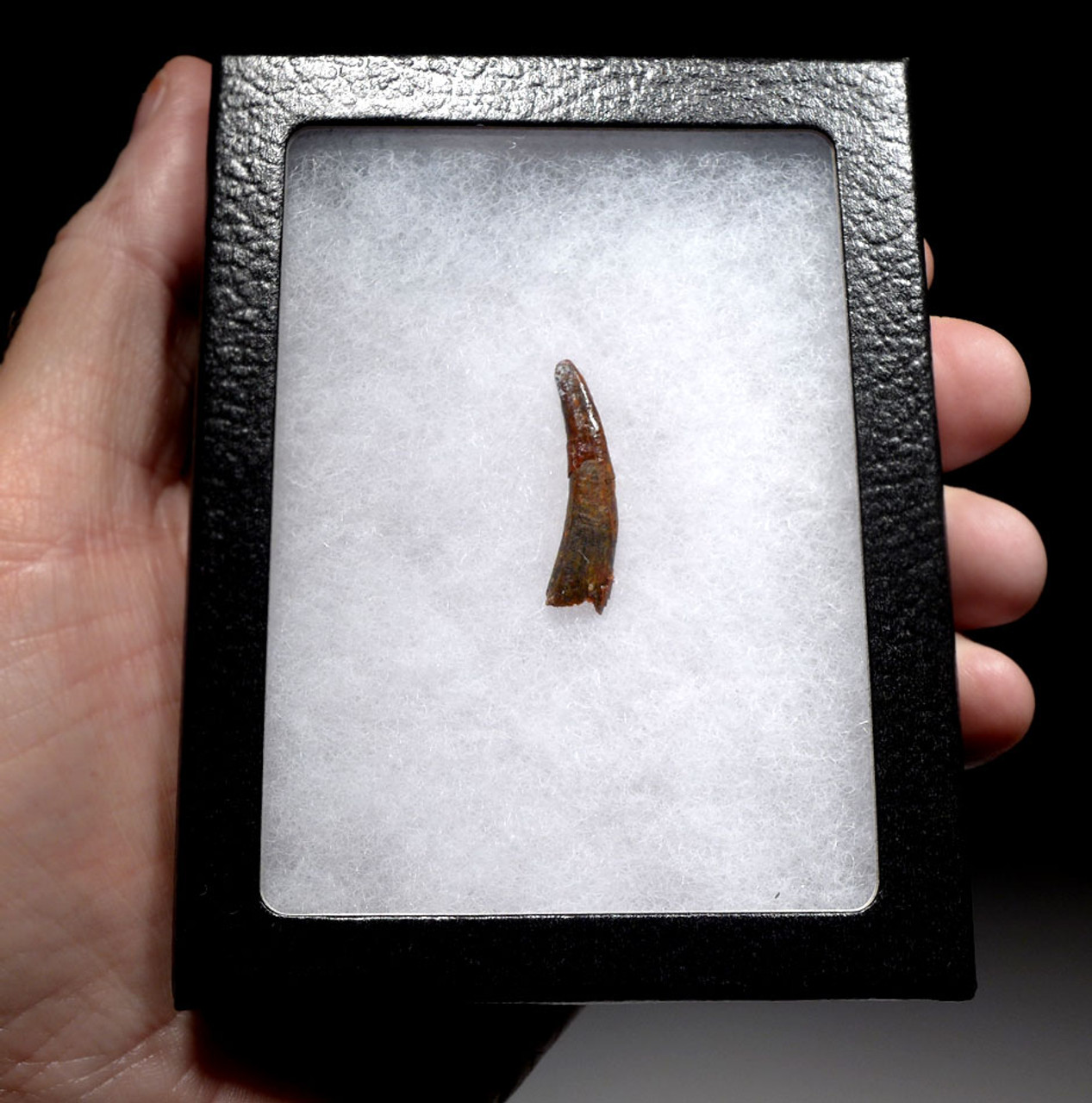 PTEROSAUR FOSSIL TOOTH FROM A FLYING PREHISTORIC REPTILE  *DT4-118