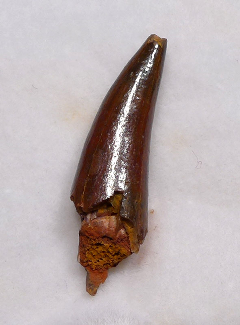 WELL-PRESERVED FOSSIL PTEROSAUR TOOTH FROM A FLYING PREHISTORIC REPTILE  *DT4-114