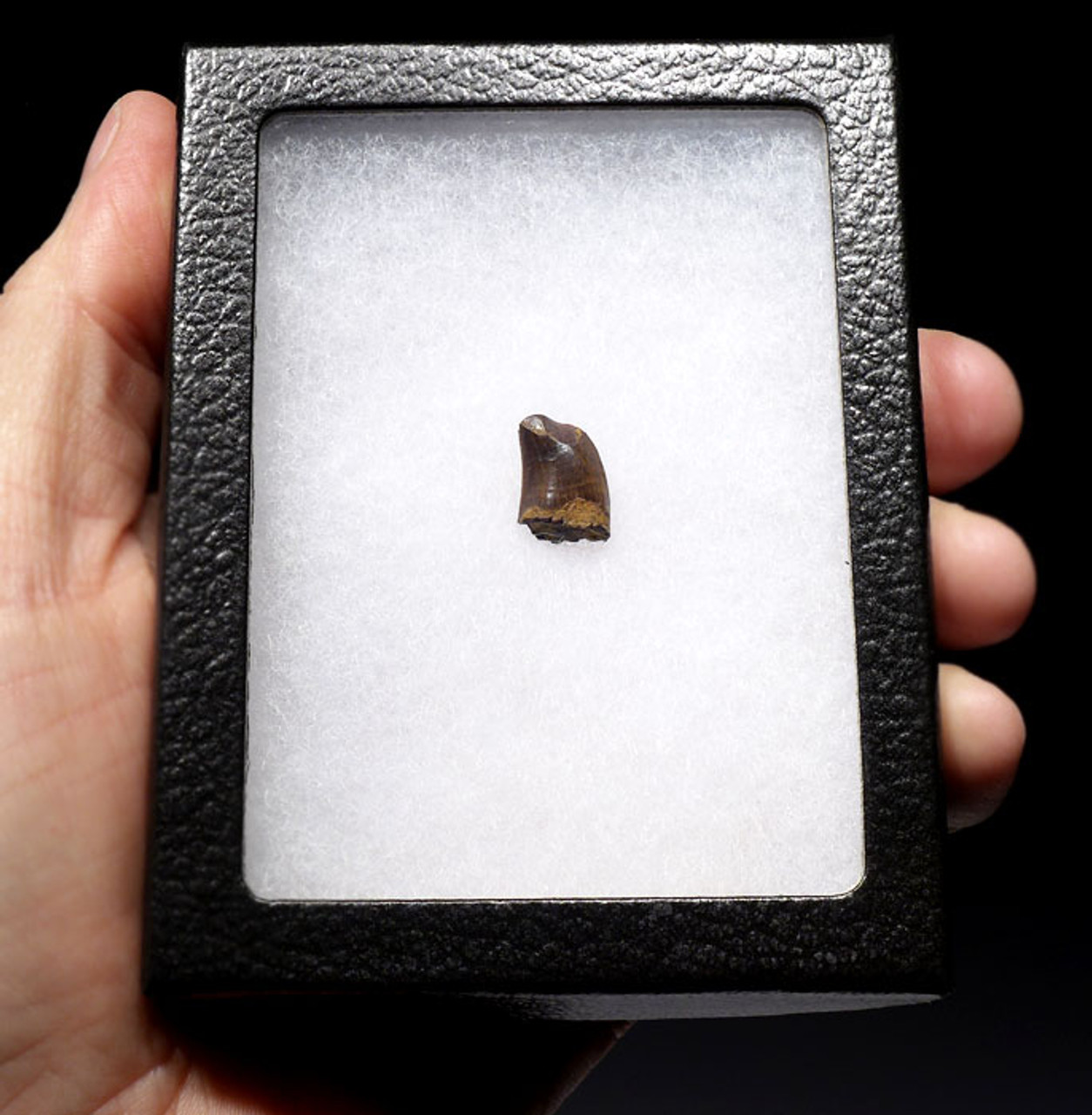 NANOTYRANNUS TYRANOSAUR DINOSAUR TOOTH WITH HEAVY FEEDING WEAR  *DT6-215