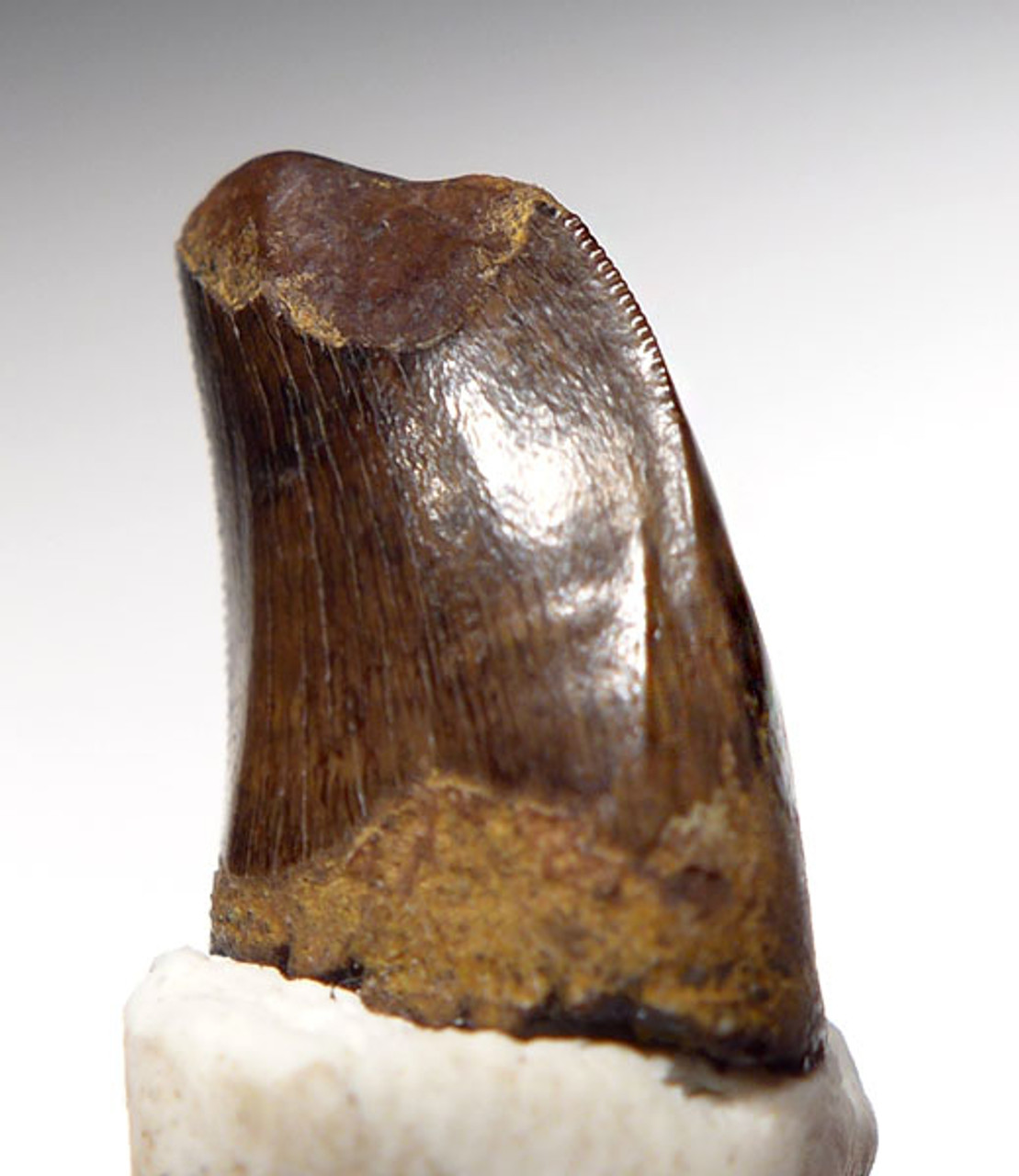 NANOTYRANNUS TYRANNOSAUR DINOSAUR TOOTH WITH HEAVY FEEDING WEAR  *DT6-215