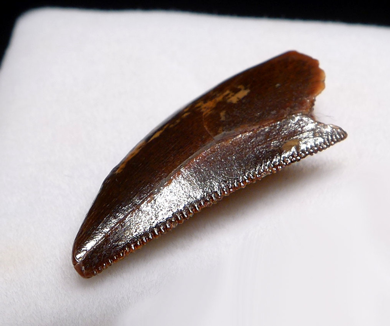 RAPTOR TOOTH FROM A LARGE DROMAEOSAUR DINOSAUR  *DT6-332
