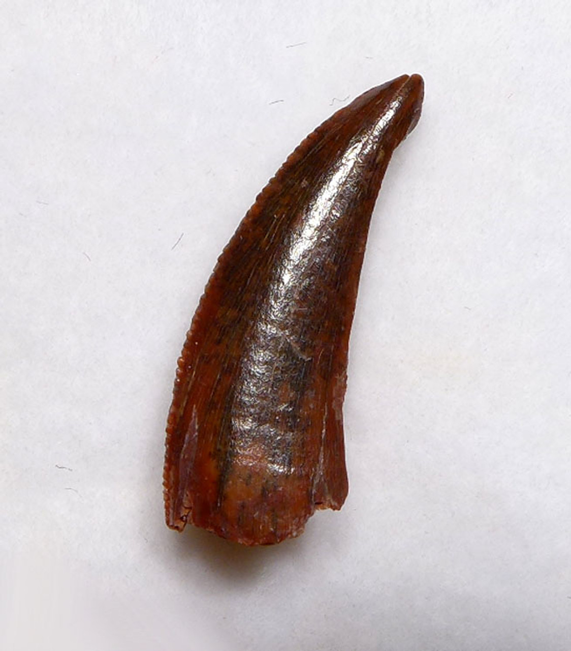 RAPTOR TOOTH FROM A LARGE DROMAEOSAUR DINOSAUR WITH UNUSUAL FEEDING WEAR   *DT6-330