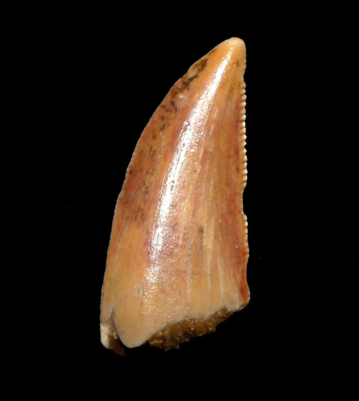 BEAUTIFUL GOLDEN FOSSIL RAPTOR DINOSAUR TOOTH FROM A LARGE DROMAEOSAUR  *DT6-336