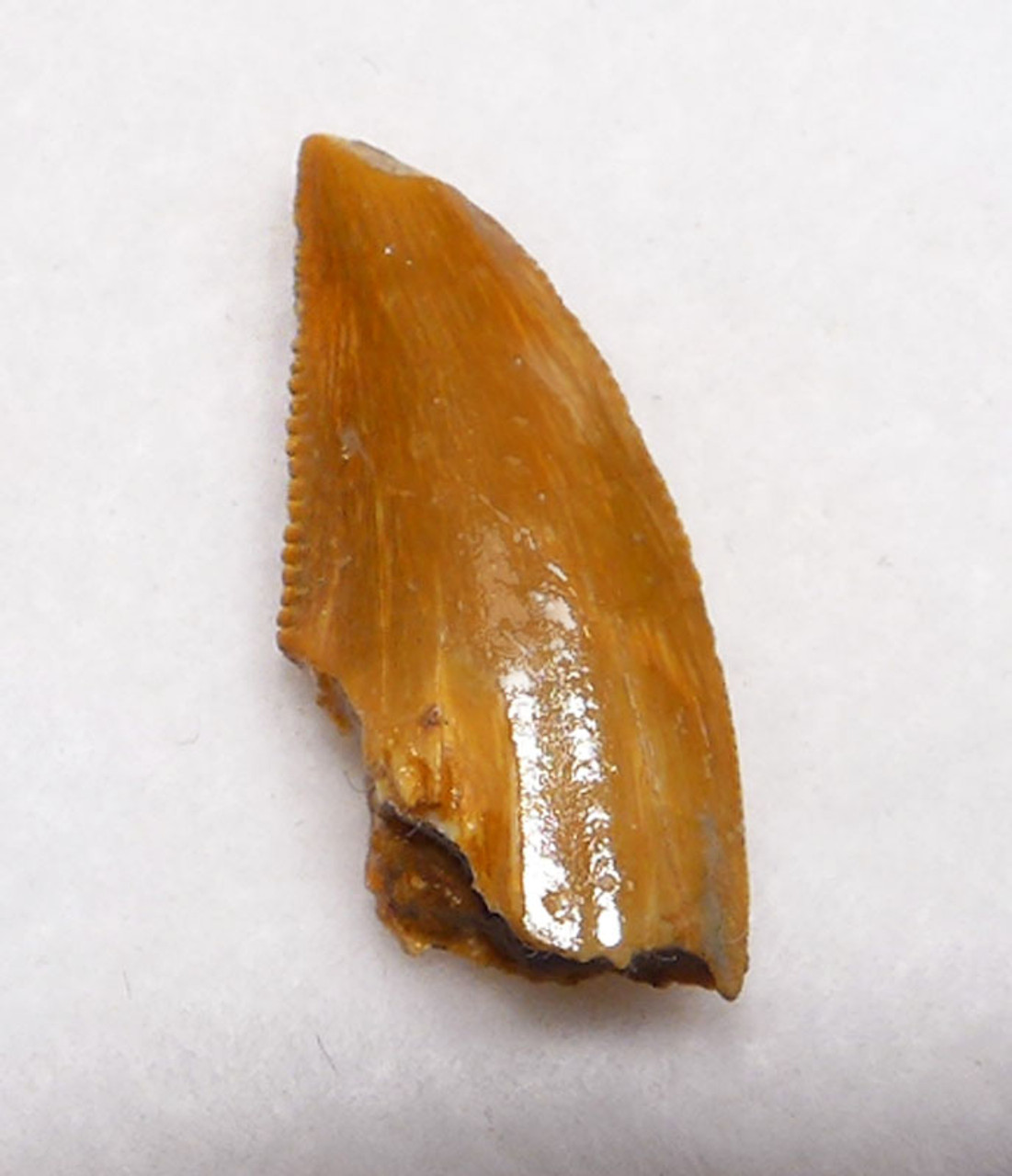 BEAUTIFUL BURNT ORANGE FOSSIL RAPTOR DINOSAUR TOOTH FROM A LARGE DROMAEOSAUR  *DT6-325