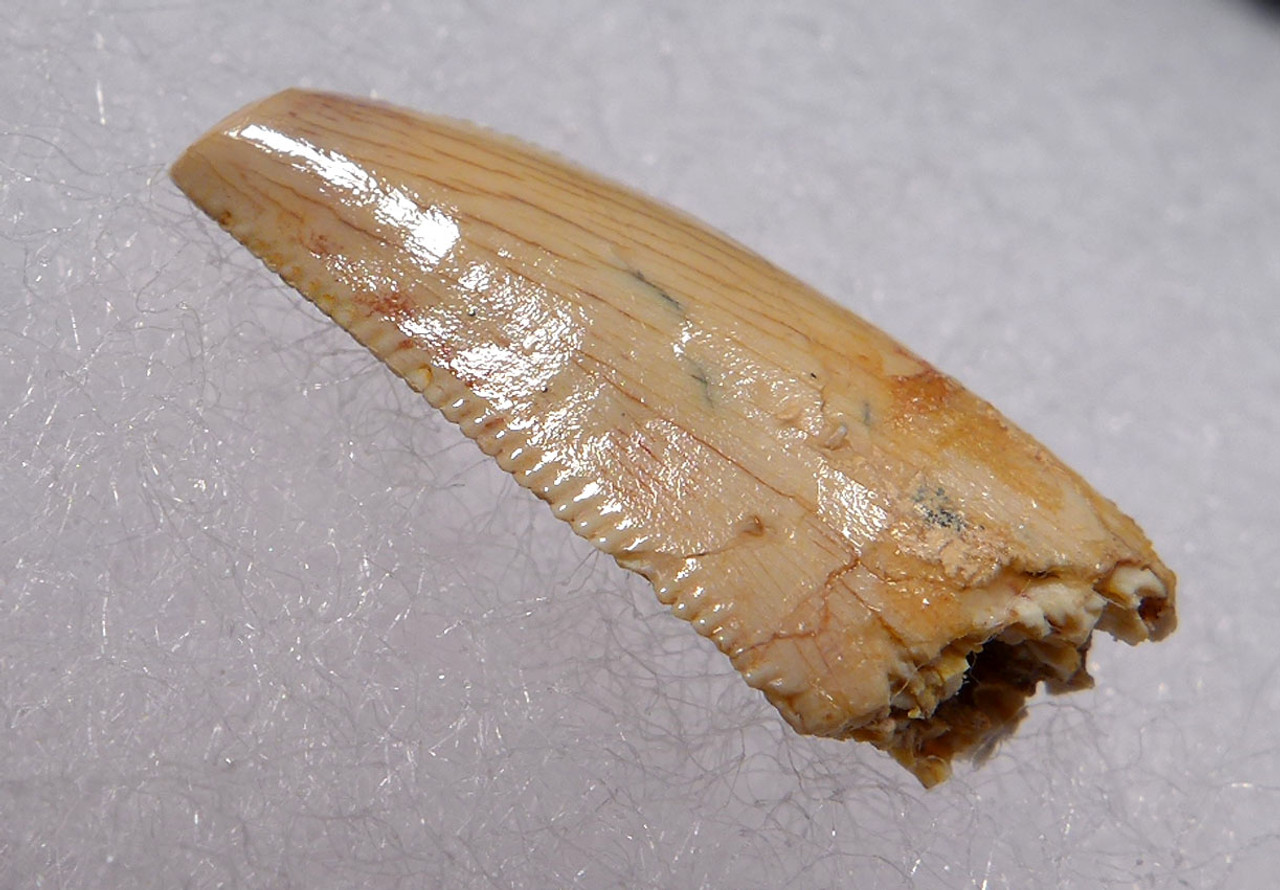 RARE WHITE FOSSIL RAPTOR DINOSAUR TOOTH FROM A LARGE DROMAEOSAUR  *DT6-329