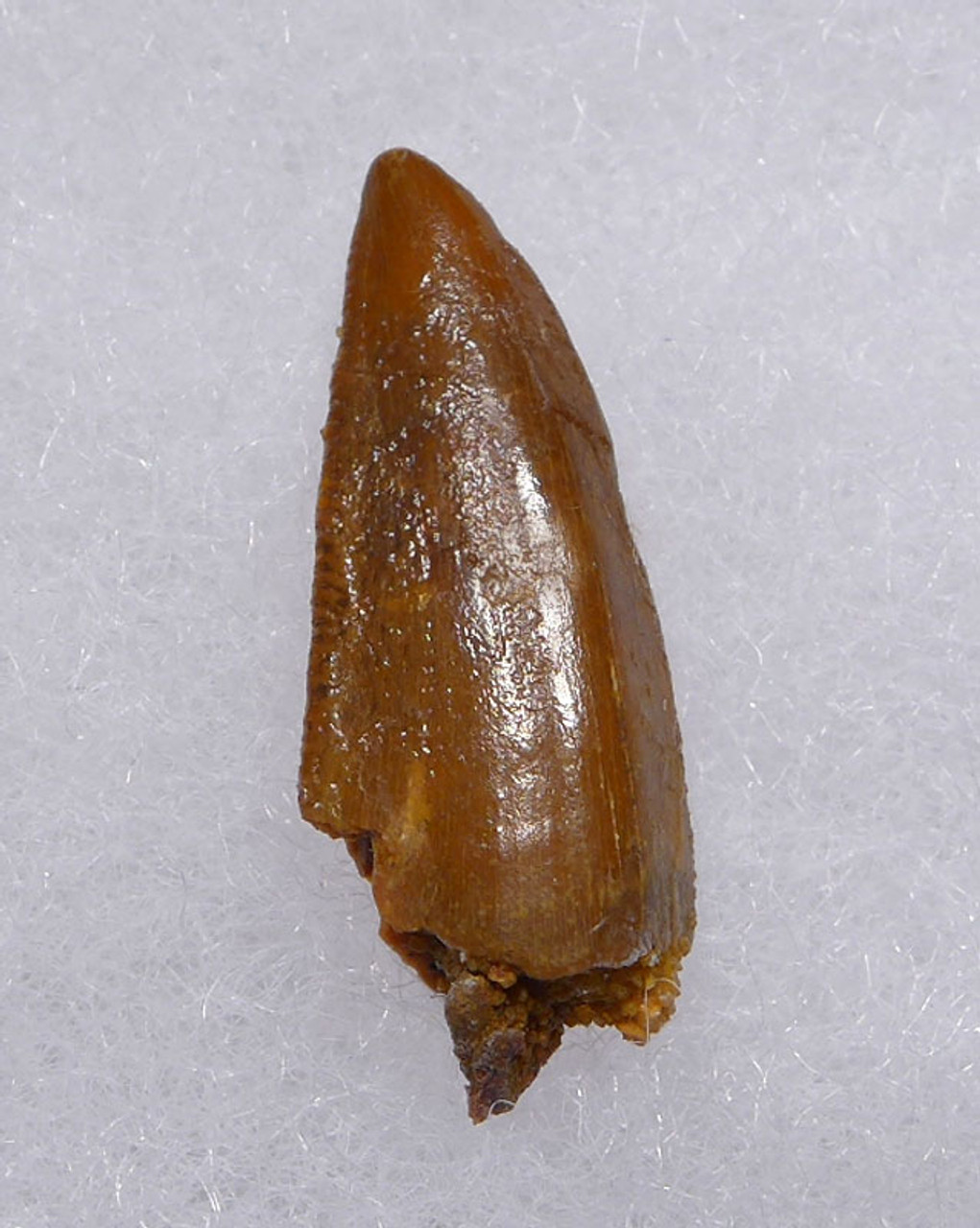 MAXIMUM SIZE RAPTOR DINOSAUR FOSSIL TOOTH FROM A LARGE DROMAEOSAUR  *DT6-337