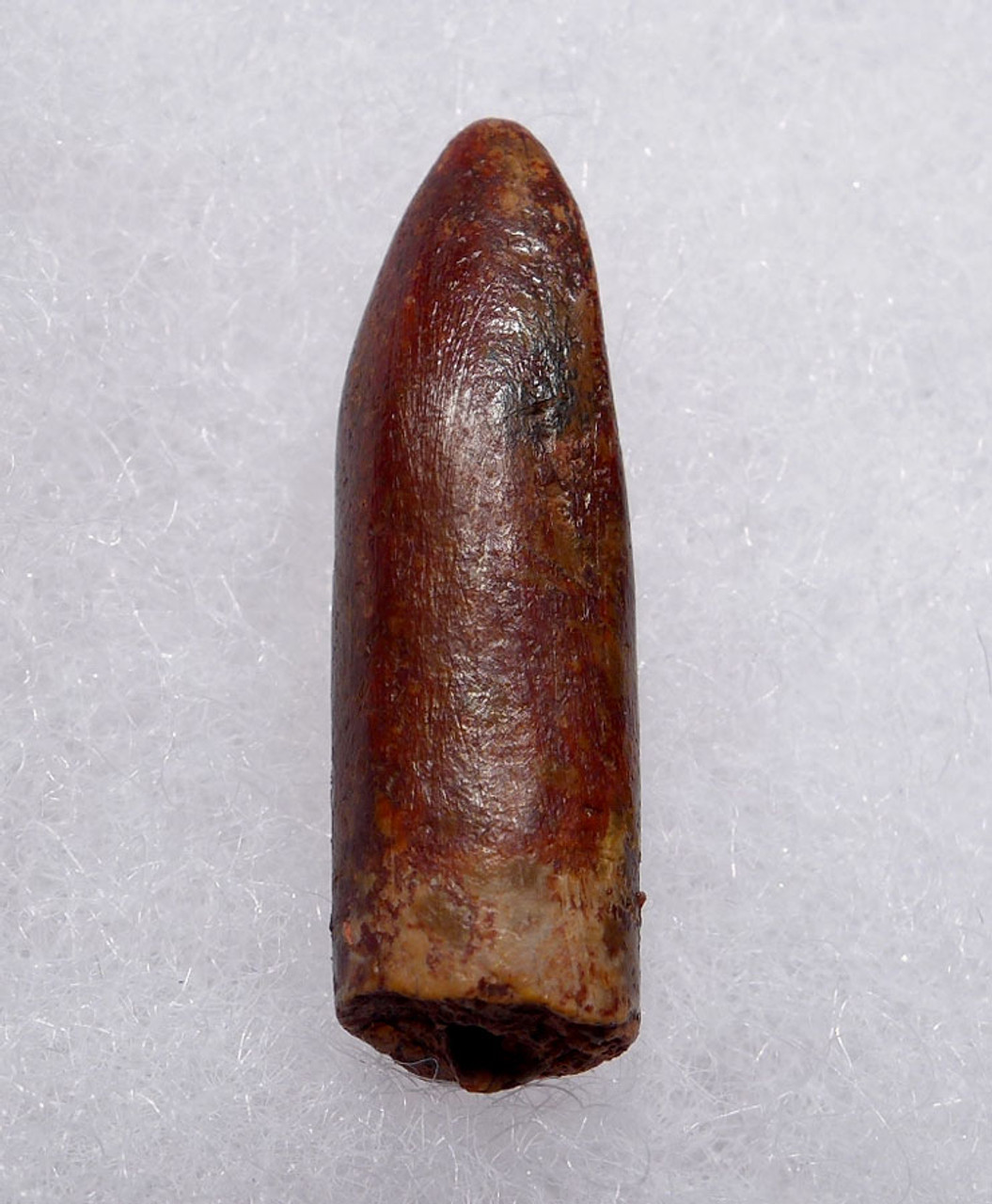 FINEST TITANOSAUR SAUROPOD FOSSIL DINOSAUR TOOTH FROM NORTH AFRICA  *DT9-041