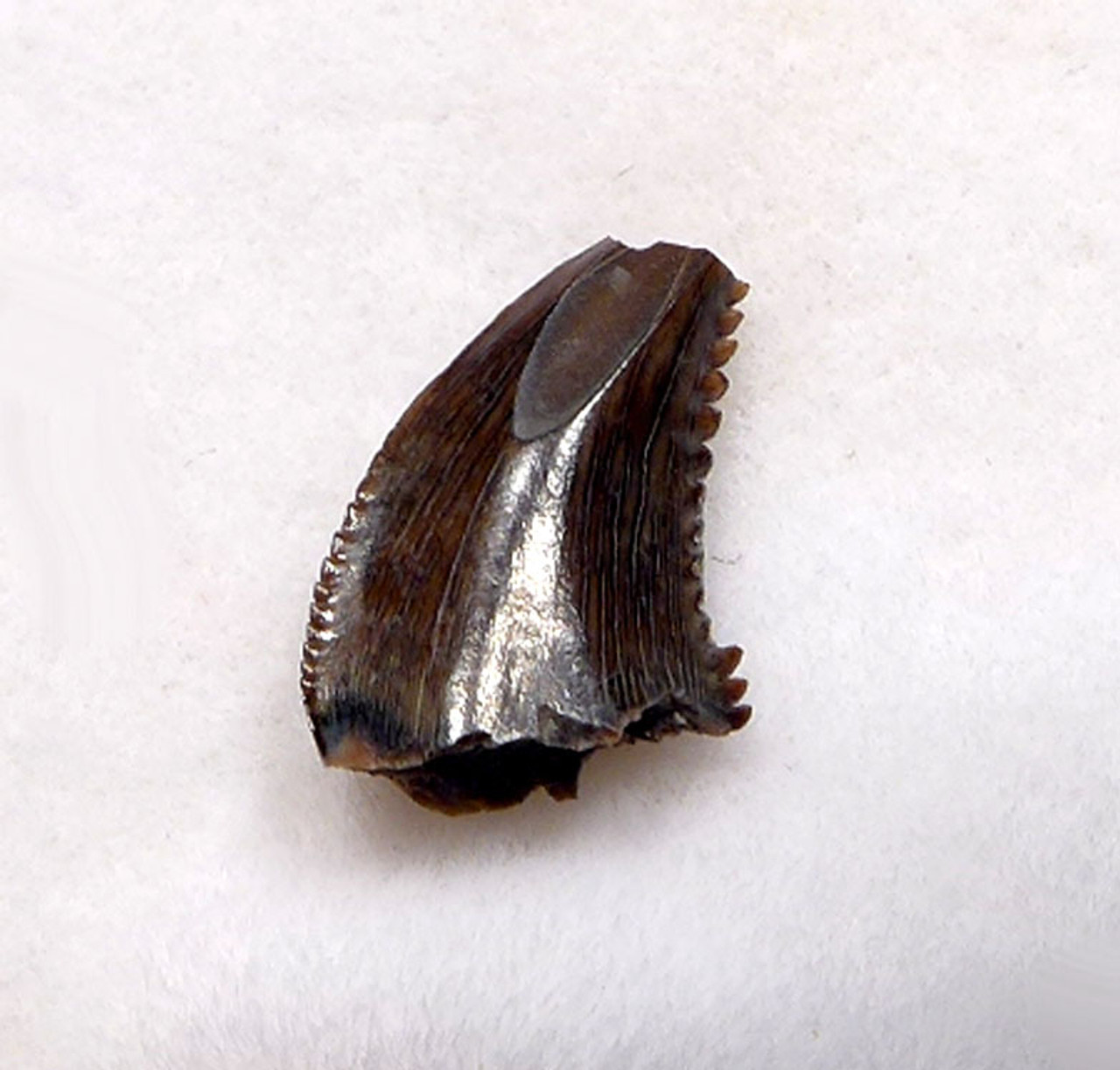 RARE TROODON FOSSIL TOOTH FROM A DROMAEOSAUR-LIKE DINOSAUR *DT6-327