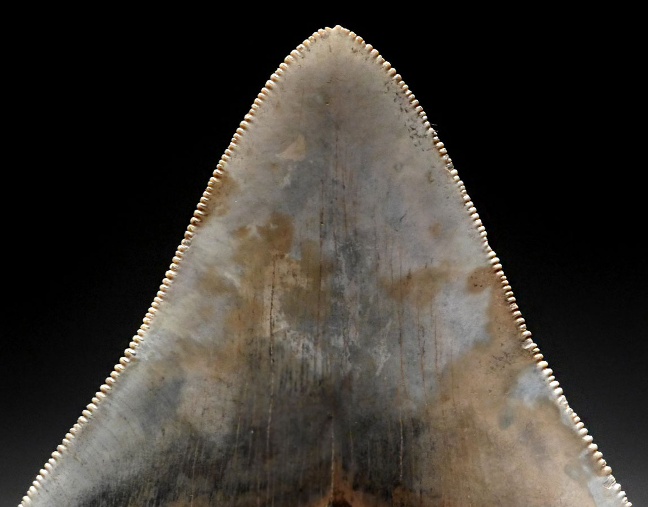 INVESTMENT GRADE 4.5 INCH MEGALODON SHARK TOOTH WITH BABY BLUE AND GOLD MOTTLING  *SH6-373