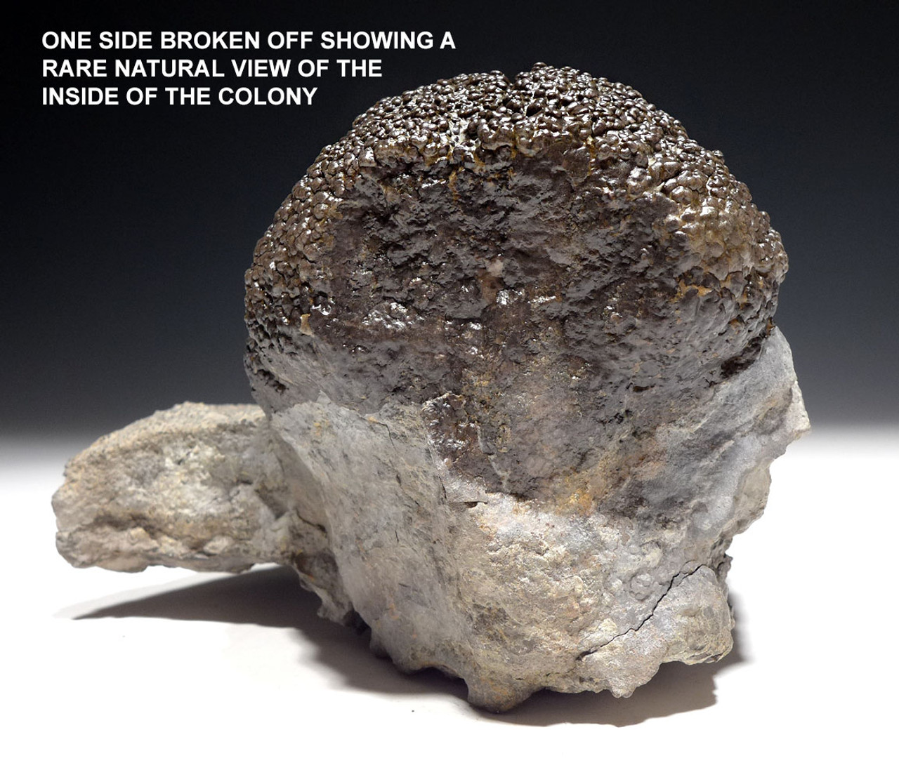 EXTREMELY RARE LARGE PERMIAN FOSSIL STROMATOLITE BACTERIA COLONY IN NATURAL FORM *STX611