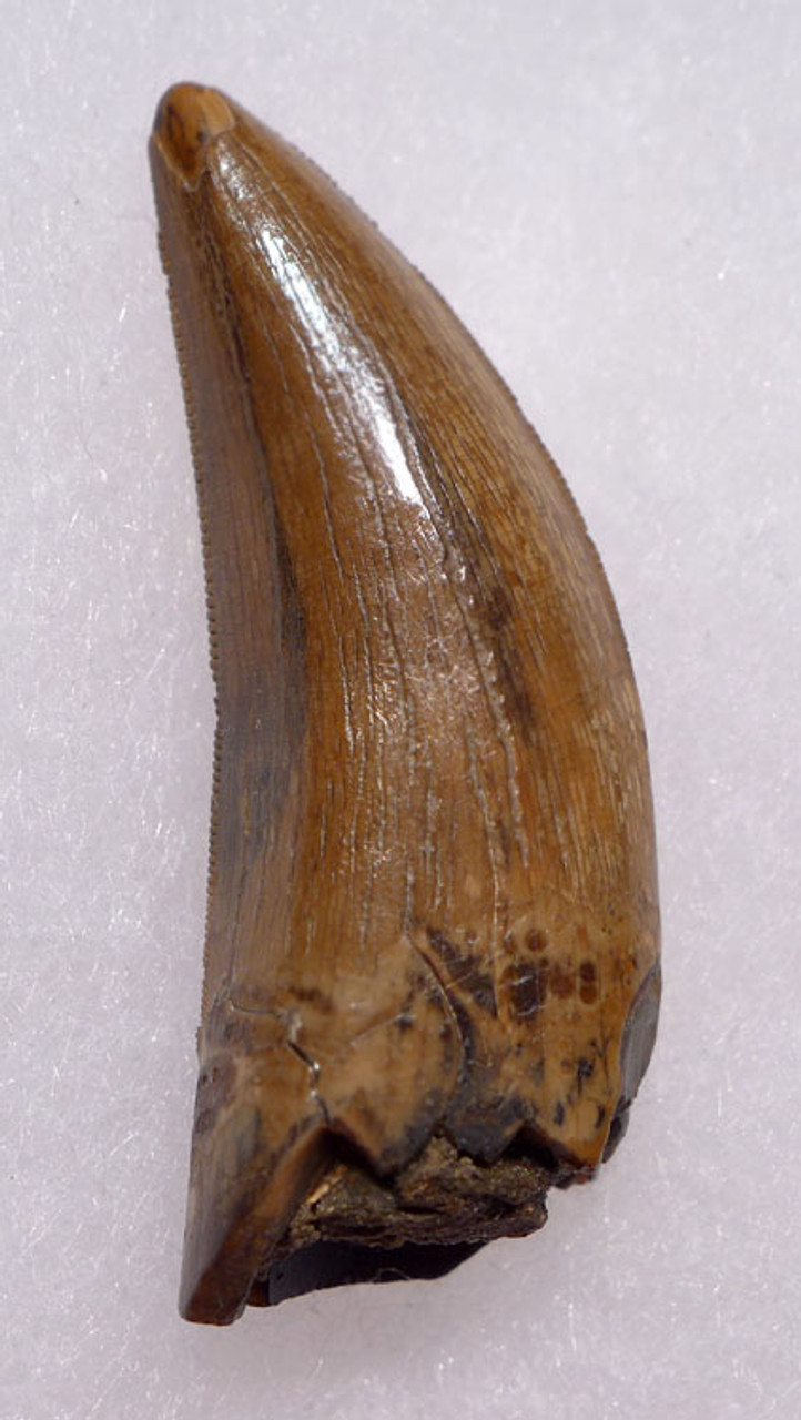 INVESTMENT QUALITY 1.7 INCH ALBERTOSAURUS TYRANNOSAUR TOOTH FROM NORTH AMERICA *DT18-091