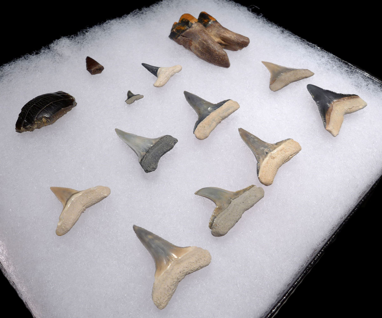 SHARK FISH AND MAMMAL TEETH FOSSILS FROM THE FAMOUS BONE VALLEY FORMATION *SHX084