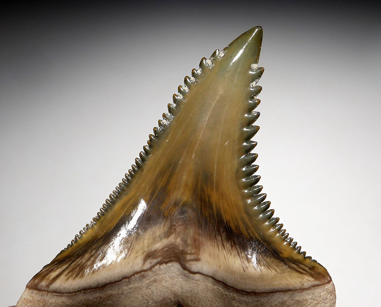 FINEST BONE VALLEY OLIVE GREEN LARGE FOSSIL HEMIPRISTIS SNAGGLETOOTH SHARK TOOTH  *SHX082