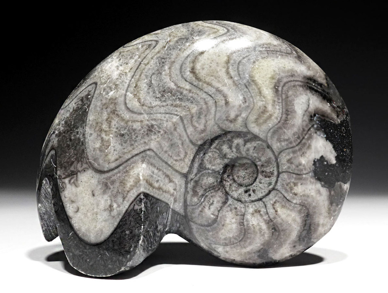 NICE POLISHED GONIATITE FOSSIL AMMONID FROM THE DEVONIAN  *AMXF1