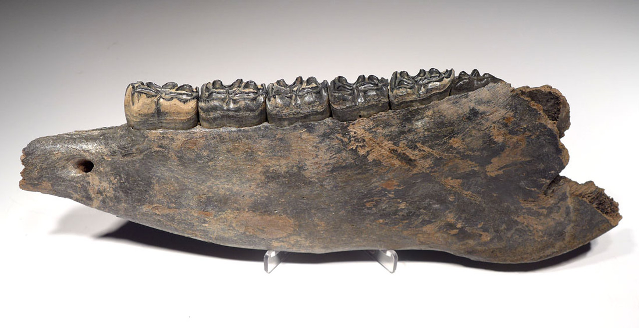 STUNNING BLUE AND CREAM ICE AGE FOSSIL HORSE JAW MANDIBLE WITH ORIGINAL TEETH  *H025
