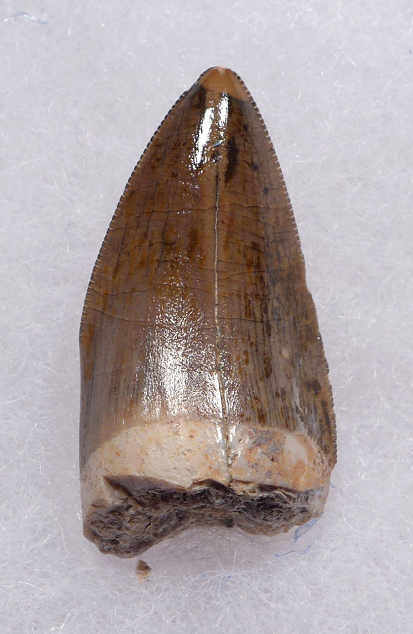 FOSSIL FANG TOOTH FROM A RUTIODON PHYTOSAUR FROM THE TRIASSIC PETRIFIED FOREST  *DT12-220