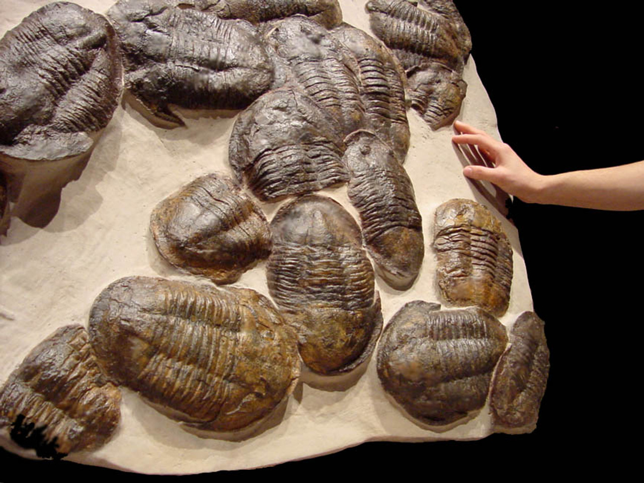 MUSEUM CLASS MASS EXTINCTION FOSSIL OF LARGE ASAPHUS TRILOBITES IN NATURAL DEATH GROUP *TRX010