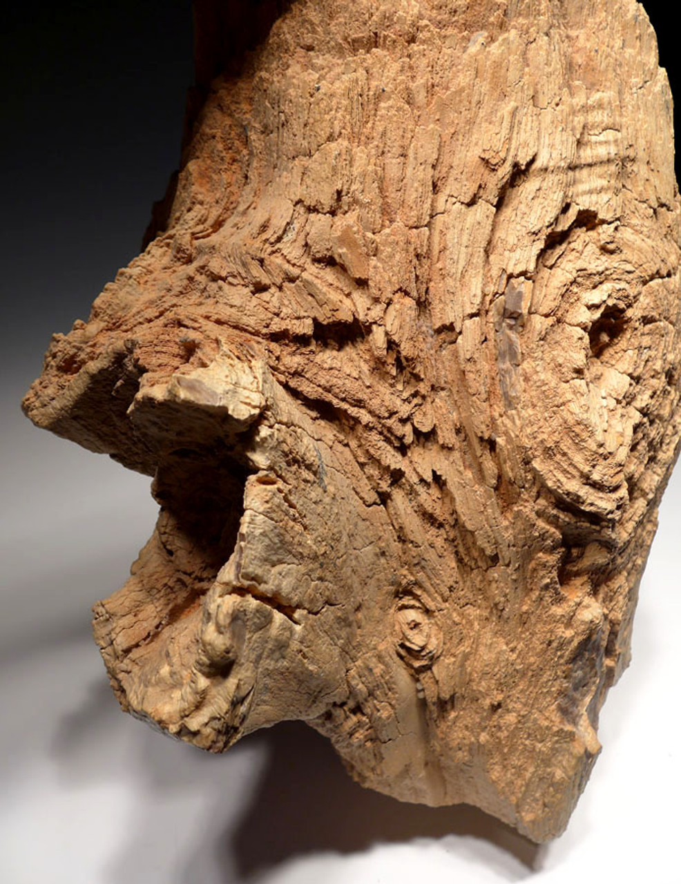 EXTREMELY RARE LIFELIKE PETRIFIED TREE LOG WITH KNOTS FROM THE SAHARA DESERT *PW001