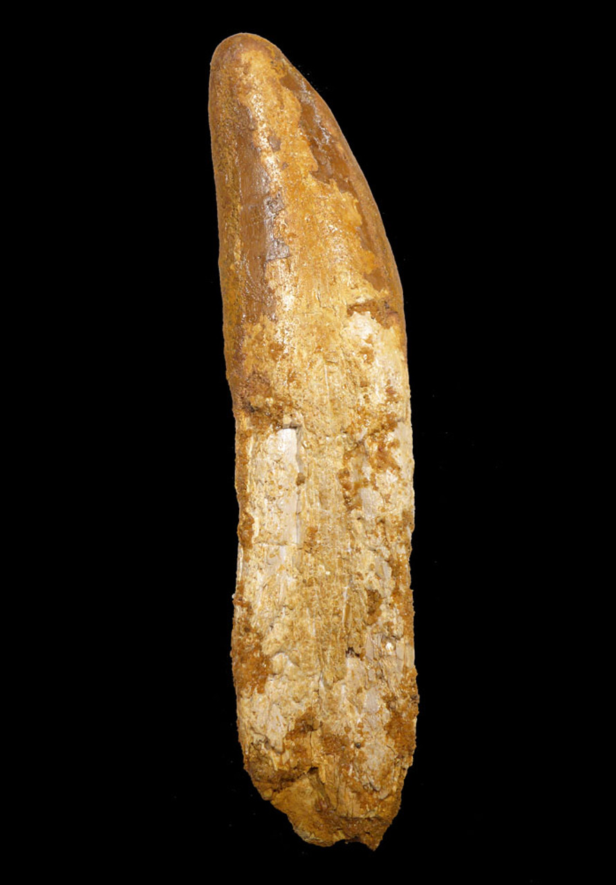 GIANT ROOTED FOSSIL CARCHARODONTOSAURUS  DINOSAUR TOOTH WITH ORIGINAL ROOT  *DT2-118