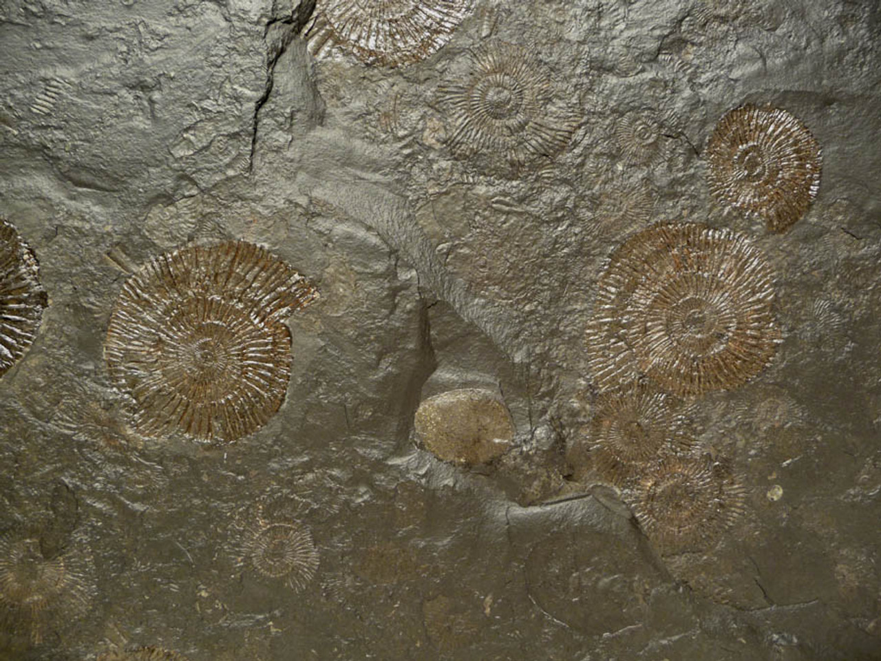 GOLD JURASSIC AMMONITES AND CLAMS ON MASS EXTINCTION FOSSIL SLAB OF BLACK SHALE  *AMX214