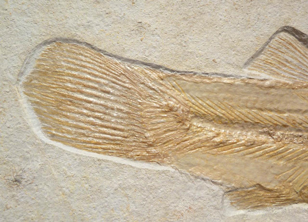 RARE JURASSIC BOWFIN FISH FOSSIL FROM SOLNHOFEN OF AMIOPSIS LEPIDOTA *F087