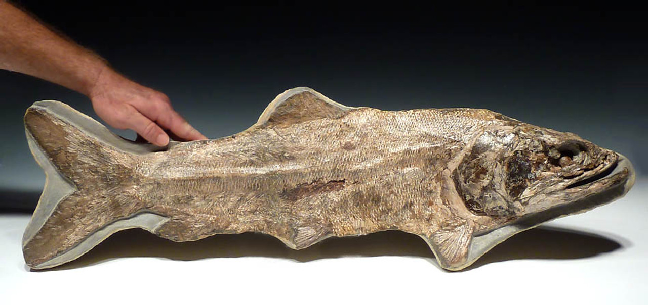 FINEST MUSEUM-CLASS FOSSIL PARAELOPS FISH FROM THE DINOSAUR DAYS  *F106