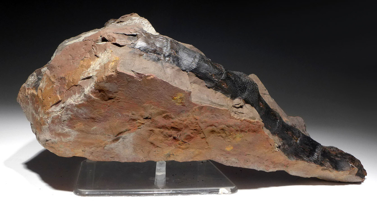 SUPERB LARGE DISPLAY FOSSIL OF CALAMITES CARBONIFEROUS PLANTS FROM EUROPE *PL165