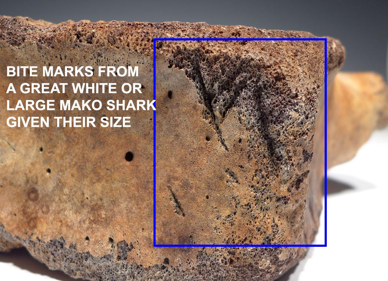 SHARK BITTEN PREHISTORIC SPERM WHALE FOSSIL VERTEBRA *WH046