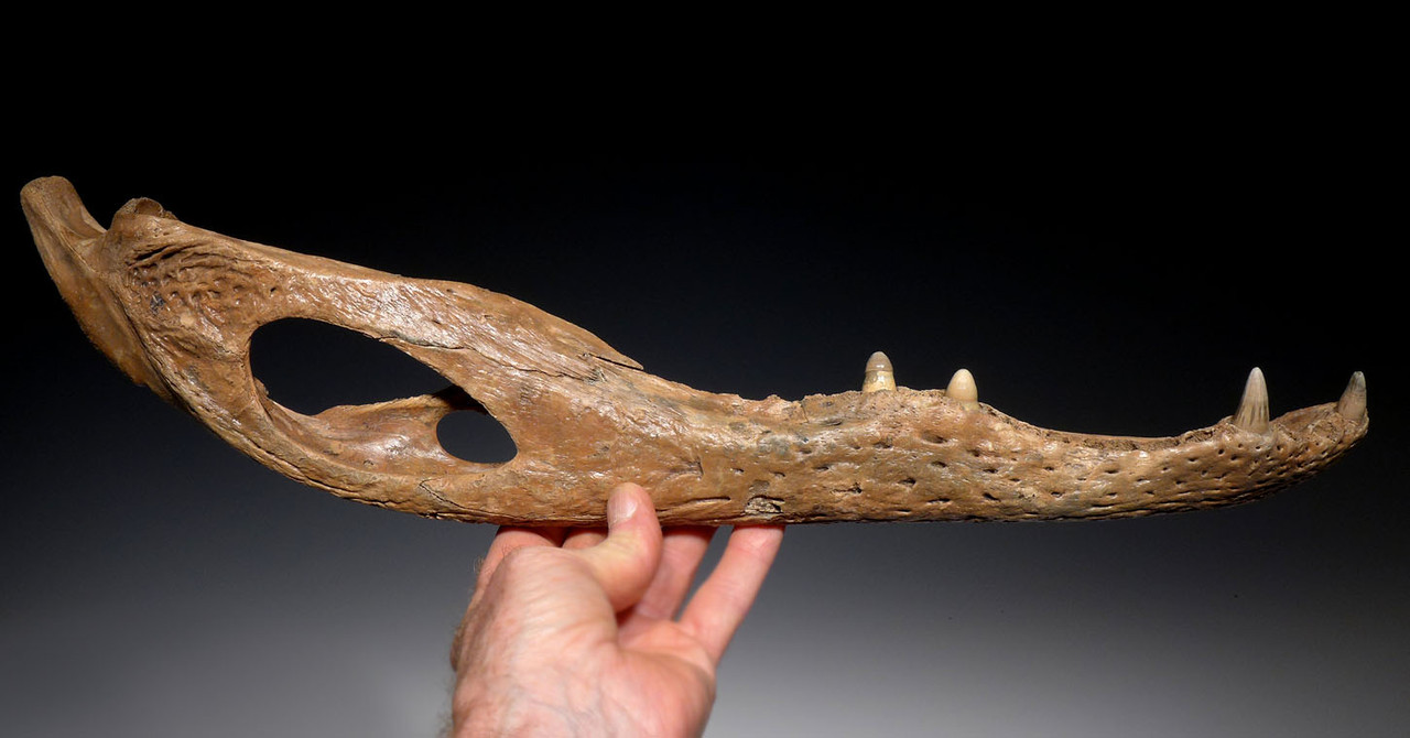 RARE LARGE FOSSIL ALLIGATOR JAW WITH TEETH FROM THE EARLY PLEISTOCENE OF FLORIDA  *CROC710