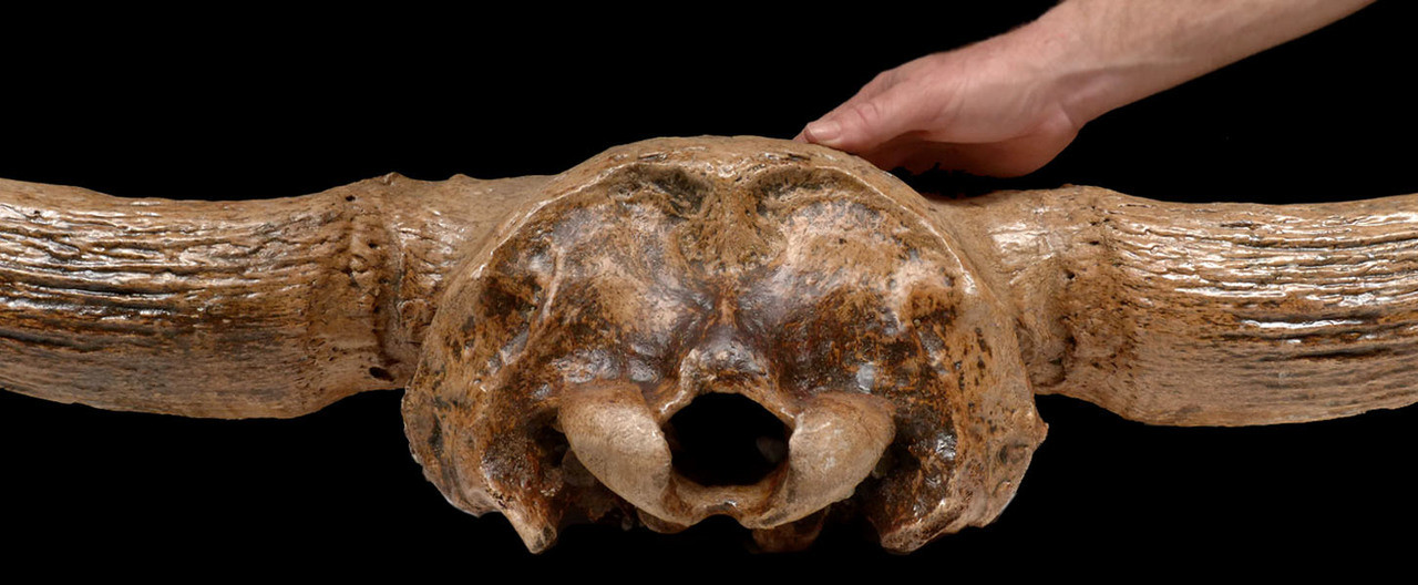 FOSSIL BISON SKULL STEPPE WISENT