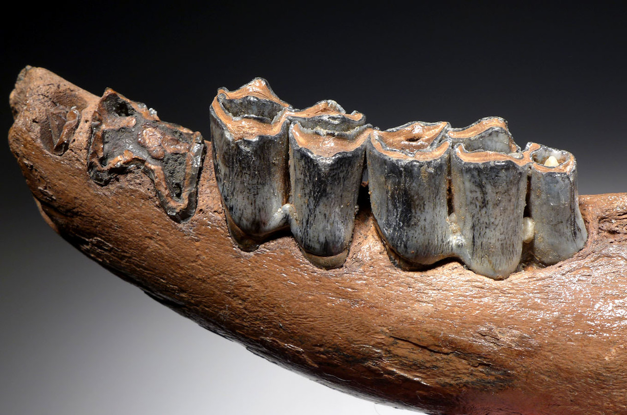FOSSIL GIANT DEER MEGALOCEROS JAW WITH TEETH FROM A PREHISTORIC IRISH ELK  *LMX250