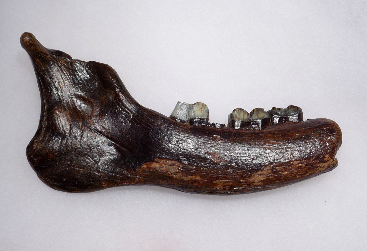 FOSSIL GIANT DEER MEGALOCEROS JAW WITH TEETH FROM A PREHISTORIC IRISH ELK  *LMX251