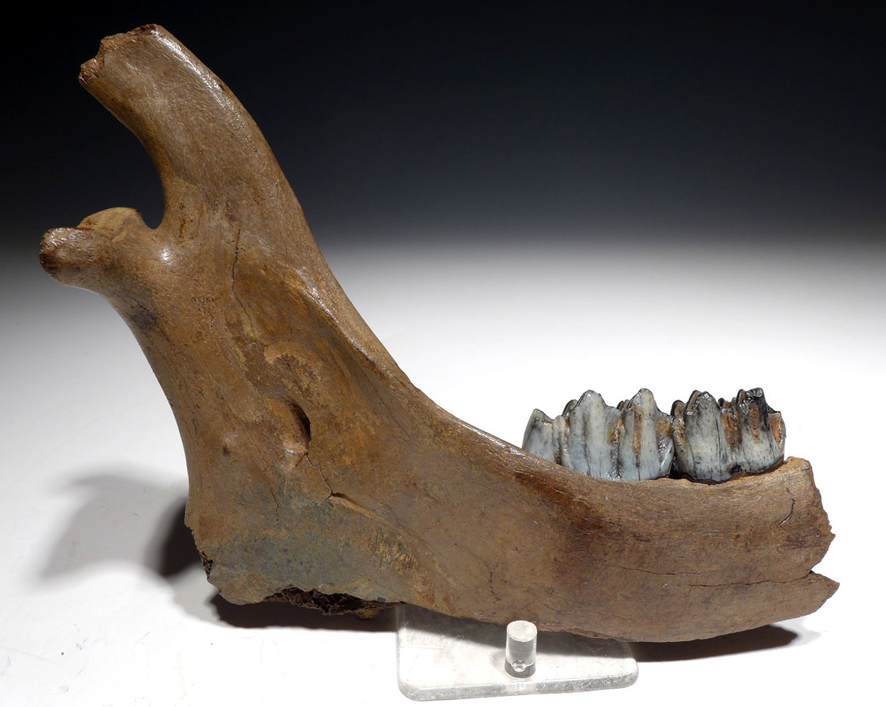 FOSSIL MEGALOCEROS GIANT DEER JAW WITH TEETH FROM A PREHISTORIC IRISH ELK  *LMX248