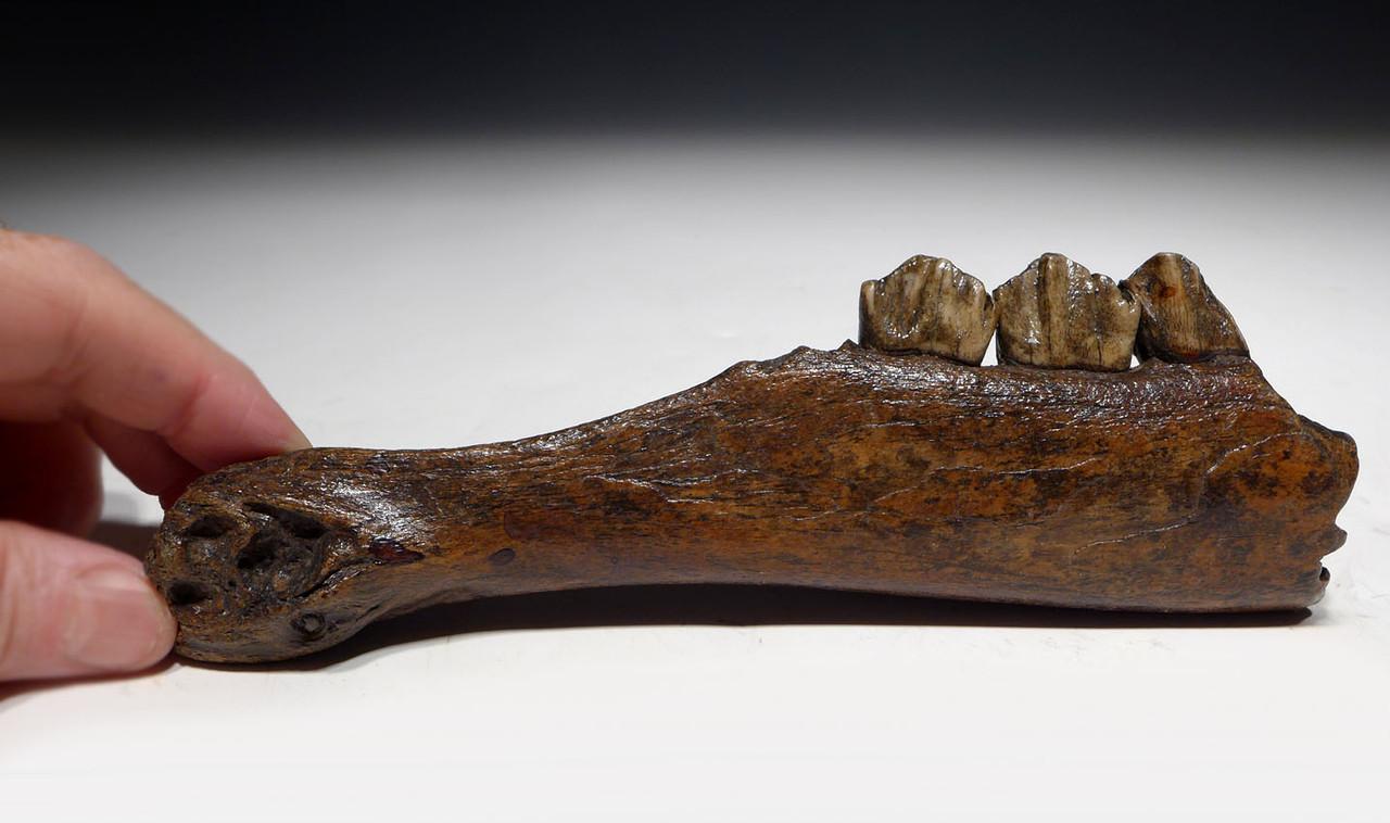 GIANT DEER FOSSIL JAW SECTION OF A MEGALOCEROS IRISH ELK  *LMX249
