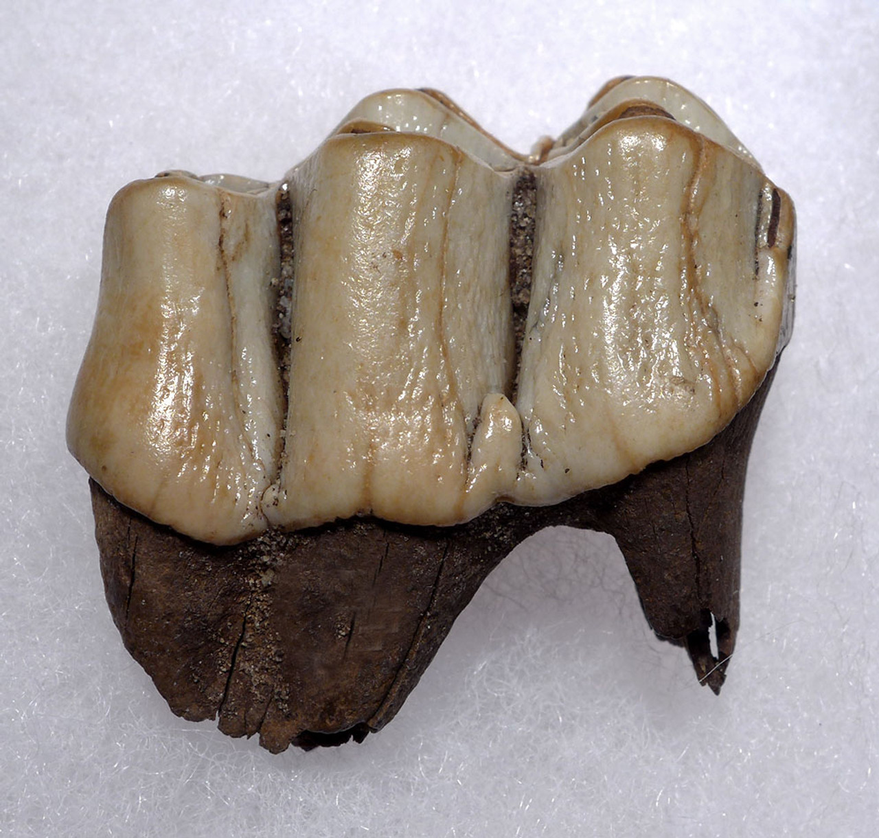 FINEST MEGALOCEROS GIANT DEER MOLAR FOSSIL TOOTH WITH CHOICE PRESERVATION  *LMX247