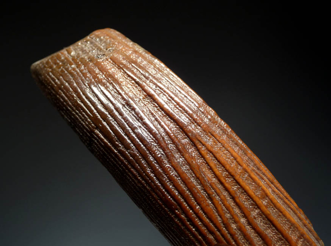 LARGE BEAUTIFUL DARK ORANGE FOSSIL INCISOR TUSK OF A GIANT BEAVER  *LM13-017