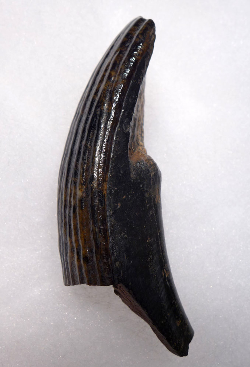 MOTTLED GOLD AND BROWN FINEST QUALITY GIANT BEAVER UPPER TUSK FOSSIL INCISOR   *LMX260