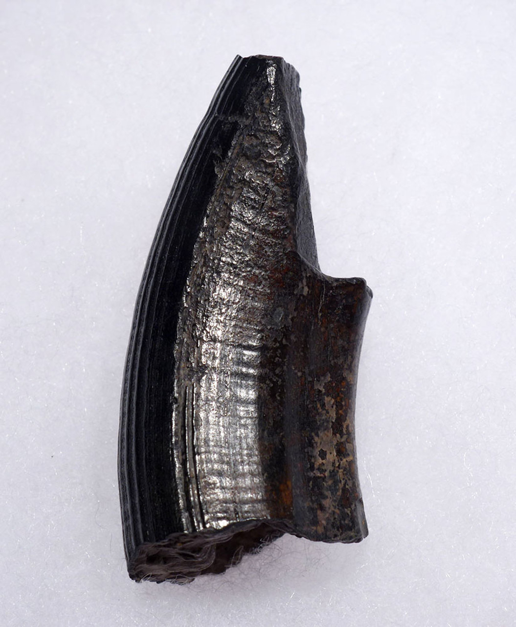 THICK GIANT BEAVER FOSSIL TUSK INCISOR TOOTH  *LMX254