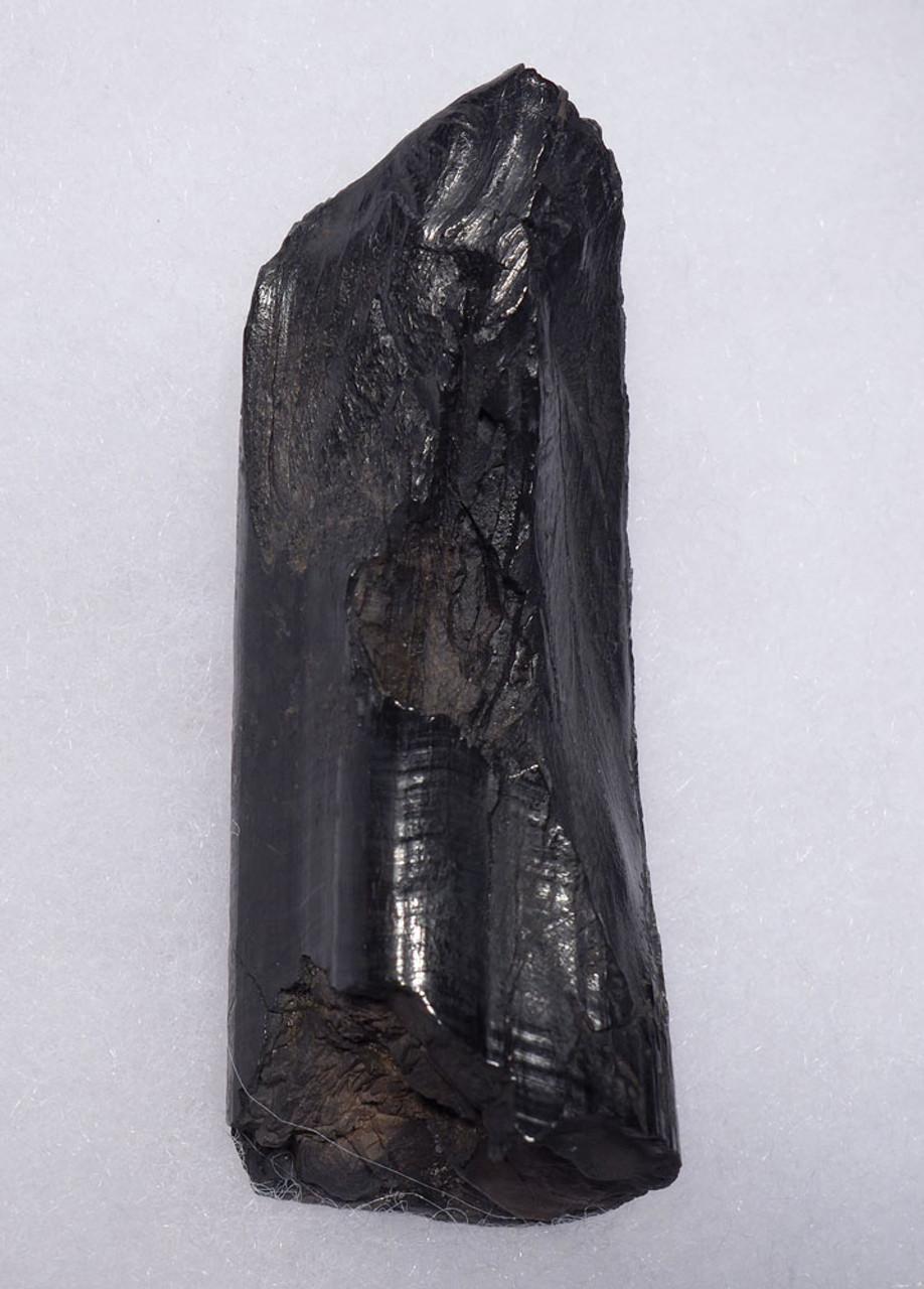 LARGE UPPER FOSSIL TUSK INCISOR OF A PREHISTORIC CASTOROIDES GIANT BEAVER  *LMX262